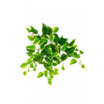 Pothos Bush Trail UV