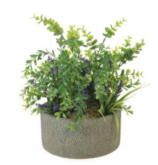 Parvifolia & Lavender In Pot