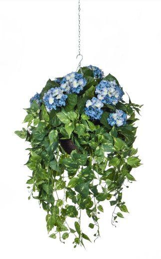 Hydrangeas with Pothos Trails Hanging Basket FR