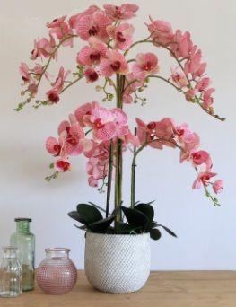 Phalaenopsis Orchid Grand Arrangement